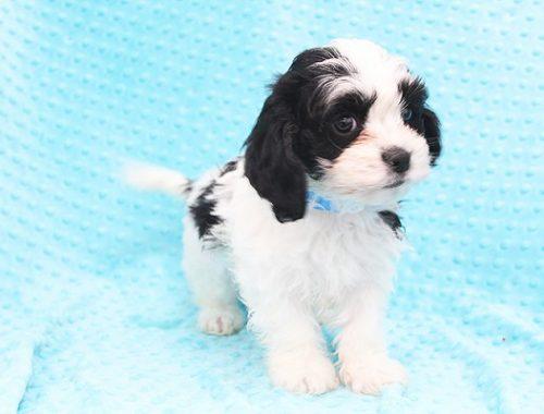 toy-maltspaniel-puppy